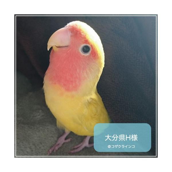 ハリソンバードフード ペレット/アダルトライフタイム ファイン|bird-style|04