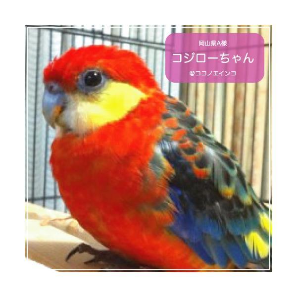 ハリソンバードフード ペレット/ハイポテンシー スーパーファイン|bird-style|05