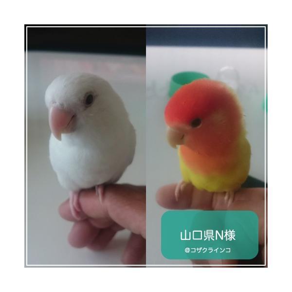 ハリソンバードフード ペレット/ハイポテンシー スーパーファイン|bird-style|07