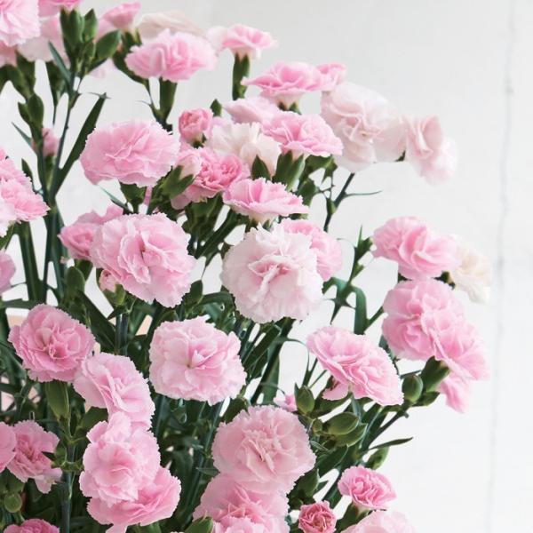 母の日プレゼント(ギフト)2019・カーネーション「バンビーノ」(カーネーション鉢植え・鉢花)[母の日カード付・送料無料]|bishokuc|02
