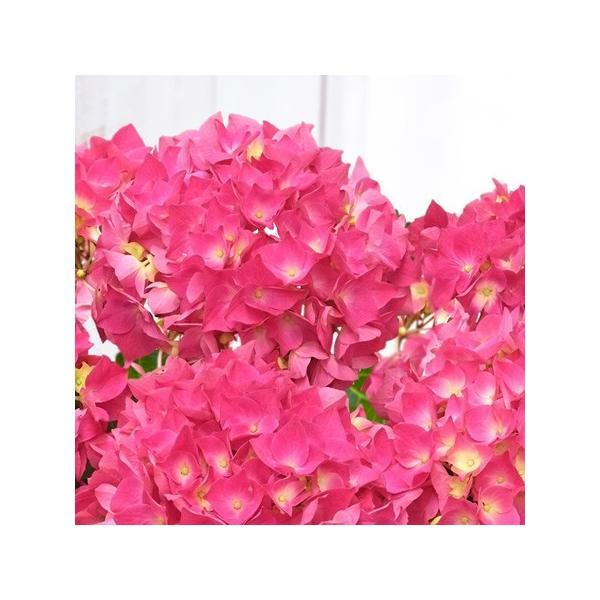 母の日プレゼント(ギフト)2018・あじさい「パリジェンヌ」(アジサイ鉢植え・鉢花)[母の日カード付・送料無料]|bishokuc|02