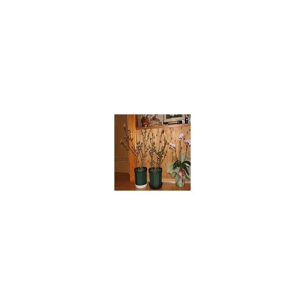 ブルーベリー 鉢植え 贈答用 4年 優秀樹『ギフト券付き』