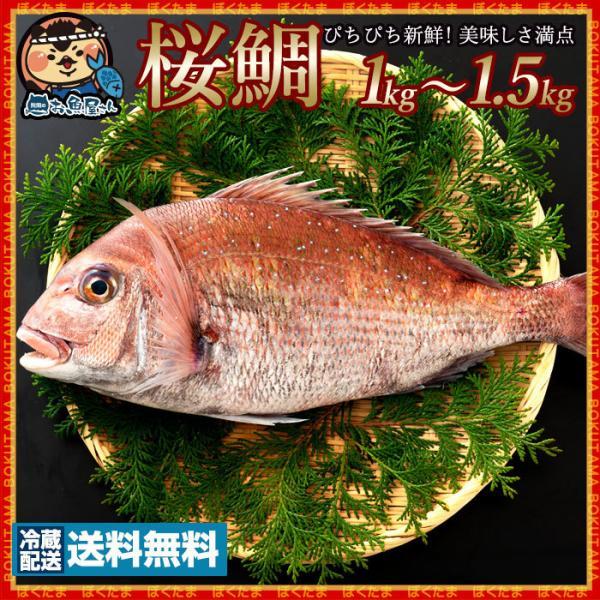 天然真鯛 マダイ 桜鯛 瀬戸内海産 約 1kg〜1.5kg 神経抜き 真鯛   [送料無料 鮮魚 たい タイ 白身 魚 刺身 お祝い お食い初め  ] グルメ