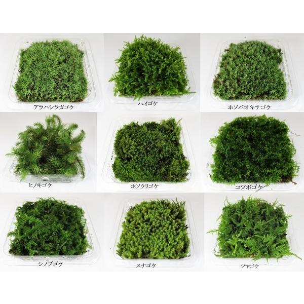苔盆栽 テラリウム の 苔 選べる こけ お好み コケ 4種 セット 【 送料無料 】 bonsai-shobien 02