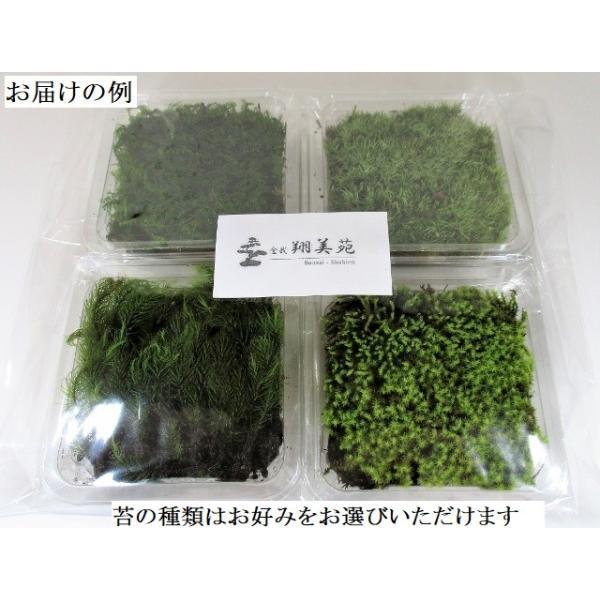 苔盆栽 テラリウム の 苔 選べる こけ お好み コケ 4種 セット 【 送料無料 】 bonsai-shobien 03
