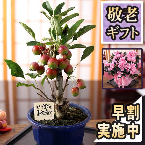 母の日2021花ギフトプレゼント 4/2523時59分早割実施中  鉢植え5号カーネーション選べる12種類定番赤ピンクおまけ付き