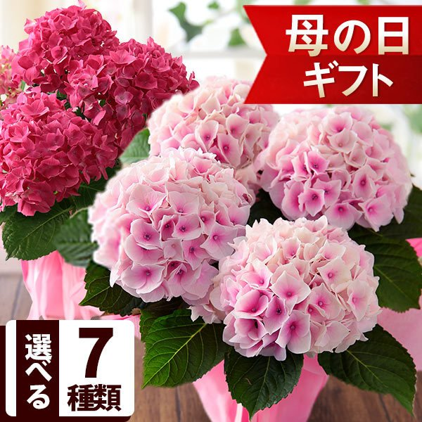 母の日2021花ギフトプレゼント 4/2523時59分早割実施中  鉢植えアジサイ4号鉢あじさい紫陽花イベントギフトR