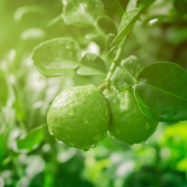 【増量してさらに10%OFF】キャセリンティー/水出し緑茶アールグレイ3パックセット|catherinehouse|08