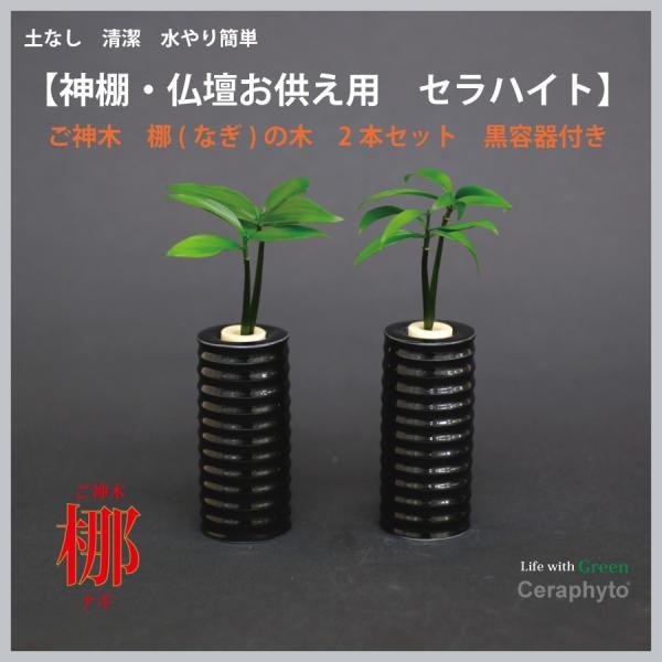 【神棚・仏壇お供え用植物】 ナギの木 2個セット 黒容器|ceraphyto-world