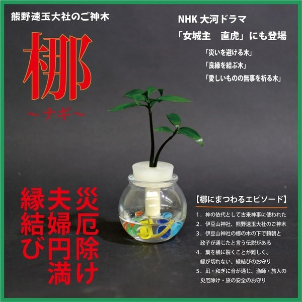 【神棚・仏壇お供え用植物】 ナギの木 2個セット 黒容器|ceraphyto-world|05