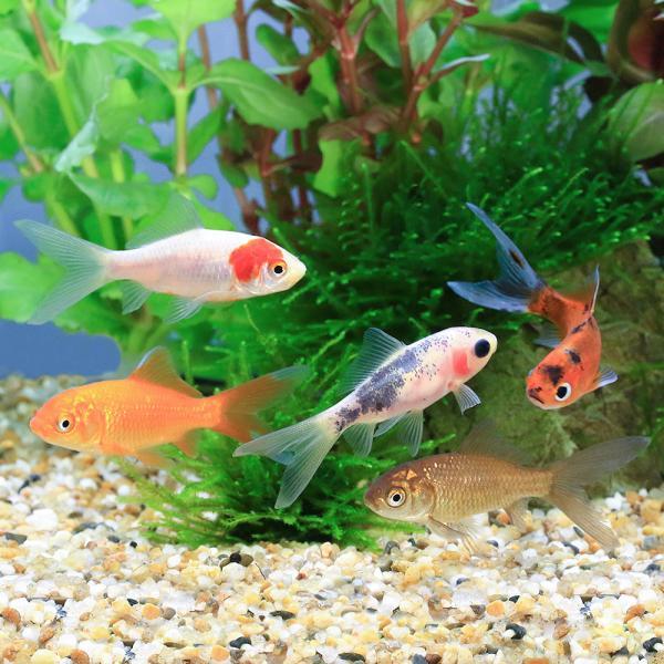 |(国産金魚)よりなし和金 色指定無し(5匹)