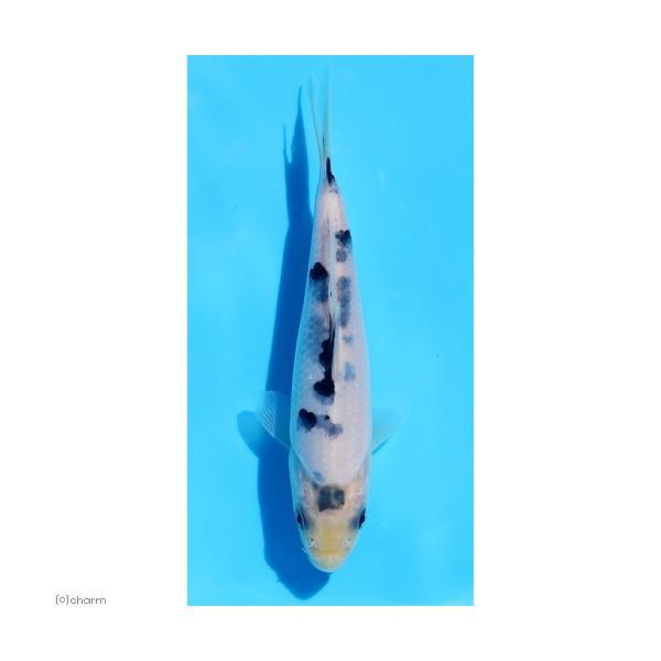 |(錦鯉)白べっ甲 8〜13cm(1匹)