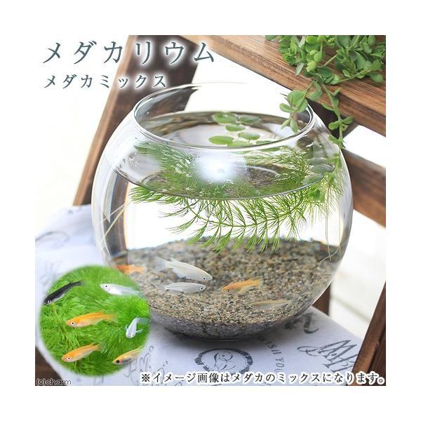 (めだか)メダカリウムメダカミックスと浮き草飼育セット初心者本州四国 お一人様2点限り