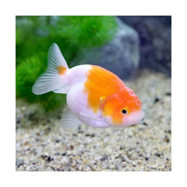 (国産金魚)桜錦/さくらにしき 加藤氏作出 5〜7cm(1匹)