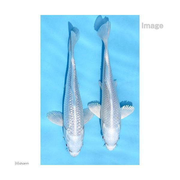 |(錦鯉)プラチナ錦鯉 ニシキゴイ 8〜13cm(1匹)