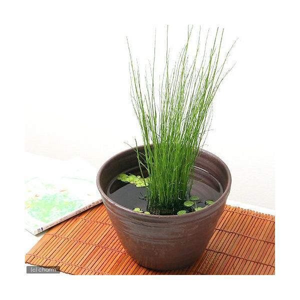 (ビオトープ)水辺植物 ミズトクサ(1ポット) 抽水植物
