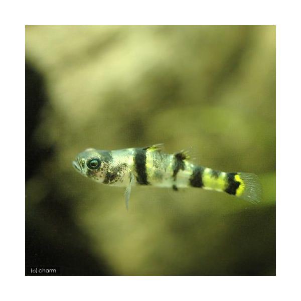 (熱帯魚)フレッシュウォーター・バンブルビーフィッシュ(12匹) 北海道・九州・沖縄航空便要保温|chanet