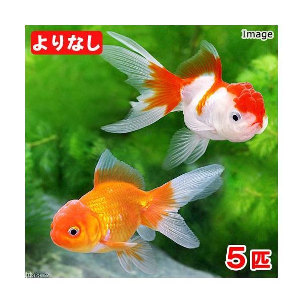 |(国産金魚)よりなし(無選別)オランダ獅子頭 素赤〜更紗(5匹)
