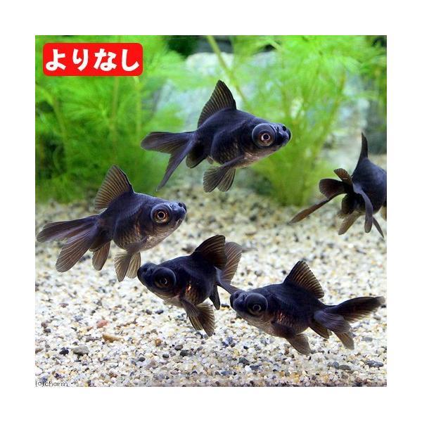 |(国産金魚)よりなし(無選別)黒出目金(3匹)