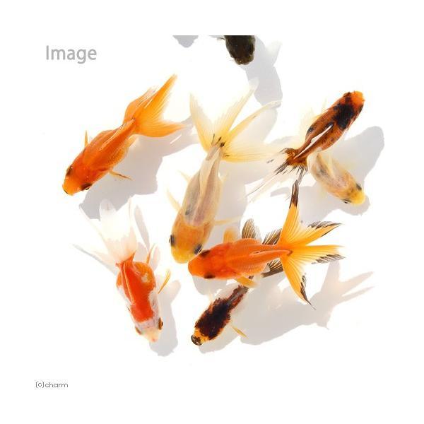|(国産金魚)オタマ金魚ミックス(5匹)