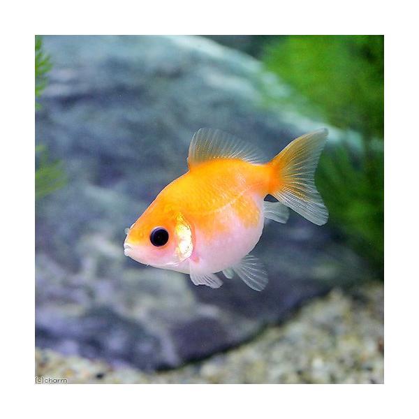 |(国産金魚)ピンポンパール(3匹)