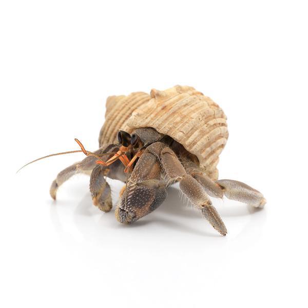  (オカヤドカリ)オカヤドカリ SM〜Mサイズ おまかせカラー(1匹)