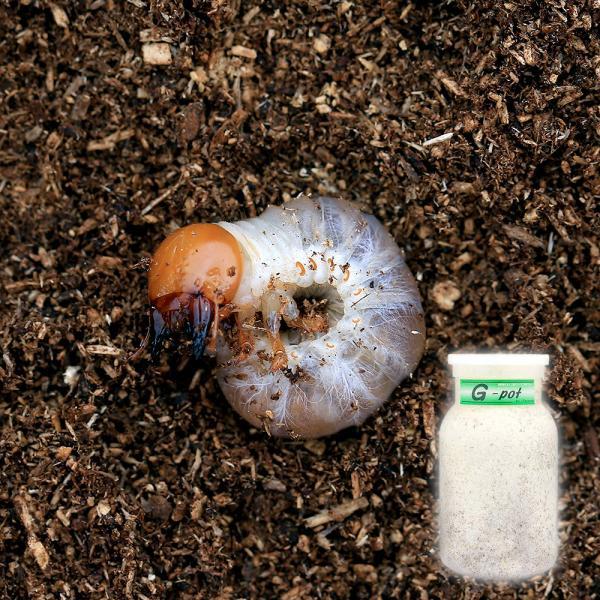 (昆虫)国産オオクワガタ幼虫(1匹) + 菌糸瓶 G−pot 850cc 1本(説明書付) 本州・四国限定|chanet