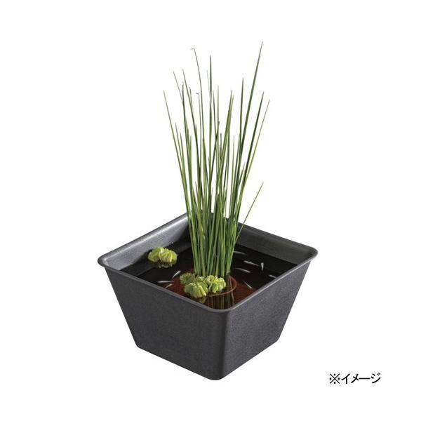 スドーメダカの角小鉢わすみ(和墨)ビオトープメダカ
