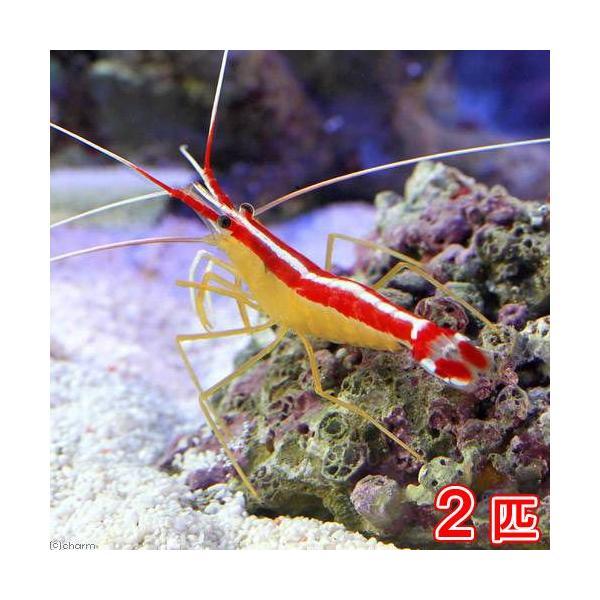(海水魚)エビ スカンクシュリンプ Mサイズ(2匹)|chanet