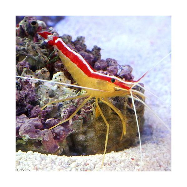 (海水魚)エビ スカンクシュリンプ Mサイズ(2匹)|chanet|02