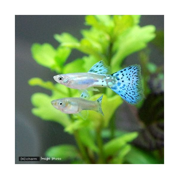 |(熱帯魚)ブルーグラスグッピー(国産グッピー)(3ペア) 北海道航空便要保温