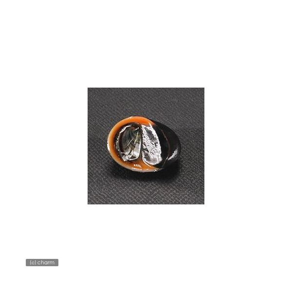 (エビ・貝)カバクチカノコ貝(2匹) 北海道・九州航空便要保温|chanet|02