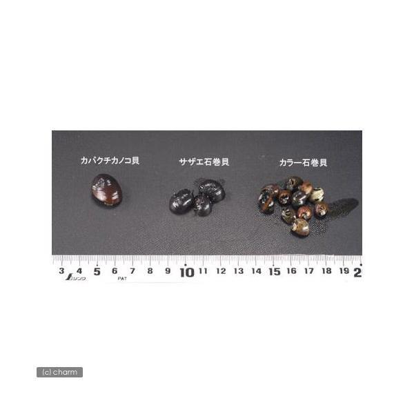(エビ・貝)カバクチカノコ貝(2匹) 北海道・九州航空便要保温|chanet|03