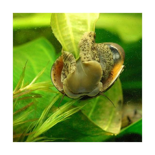 (エビ・貝)カバクチカノコ貝(2匹) 北海道・九州航空便要保温|chanet|04