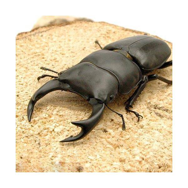 |(昆虫)国産オオクワガタ 兵庫県阿古谷産 幼虫(初〜2令)(3匹)