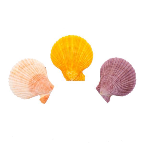 貝殻 シェルコレクション ヒオウギガイ おまかせカラー Lサイズ 片面タイプ 3個 形状おまかせ