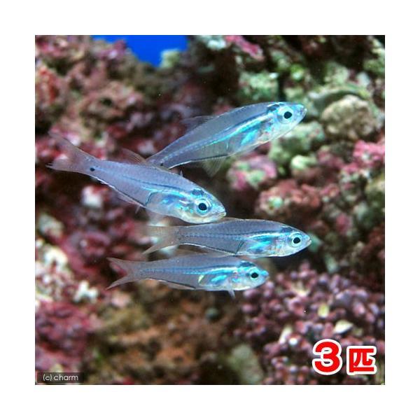 (海水魚)沖縄産 スカシテンジクダイ(3匹) 北海道航空便要保温|chanet