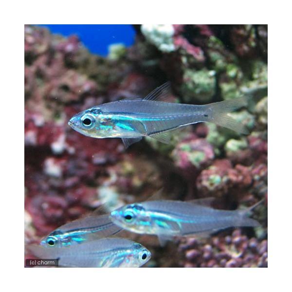 (海水魚)沖縄産 スカシテンジクダイ(3匹) 北海道航空便要保温|chanet|02