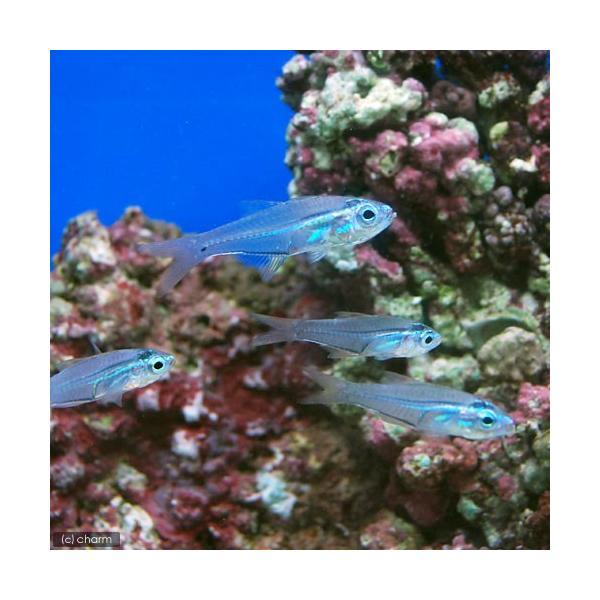 (海水魚)沖縄産 スカシテンジクダイ(3匹) 北海道航空便要保温|chanet|03
