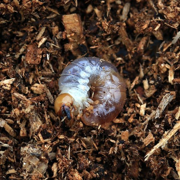 |(昆虫)国産オオクワガタ 大阪府能勢町産 YG血統 幼虫(初〜2令)(1匹)