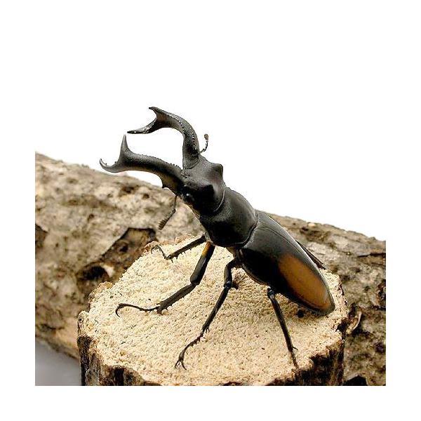 |(昆虫)セアカフタマタクワガタ スマトラ ベンクール産 成虫(WD)70〜74mm(1ペア)