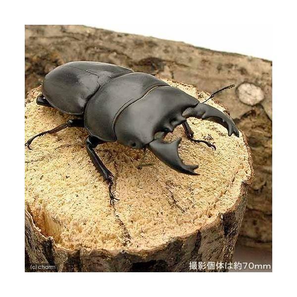 |(昆虫)アルキデスヒラタクワガタ 短歯型 スマトラ ベンクール産 成虫(WD)75〜79mm(1ペ…