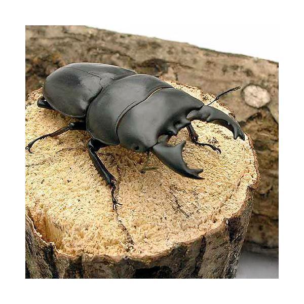 |(昆虫)アルキデスヒラタクワガタ 短歯型 スマトラ ベンクール産 成虫(WD)70〜74mm(1ペ…