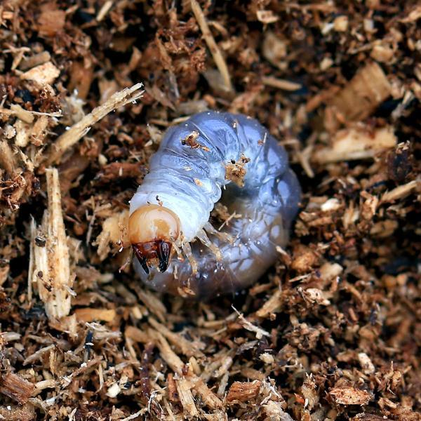 |(昆虫)国産オオクワガタ 大阪府能勢町産 SR血統 幼虫(初〜2令)(1匹)