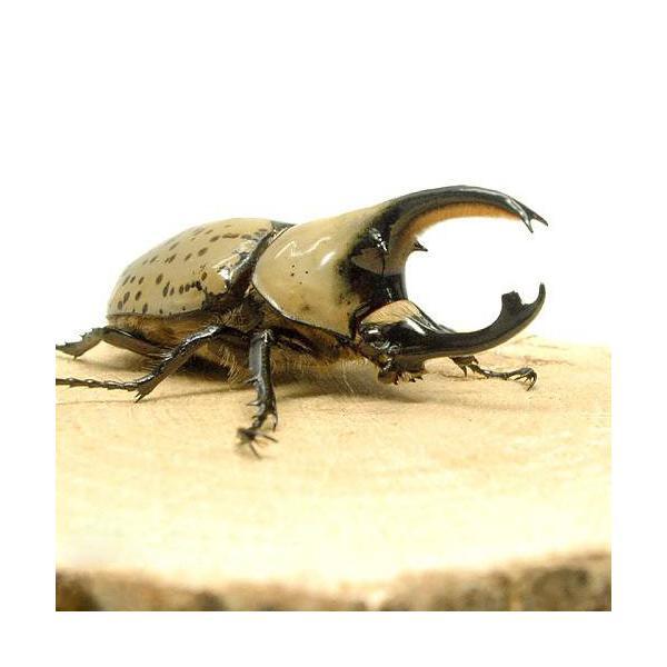 |(昆虫)グラントシロカブトムシ アリゾナ産 成虫 65〜69mm(1ペア) 沖縄別途送料