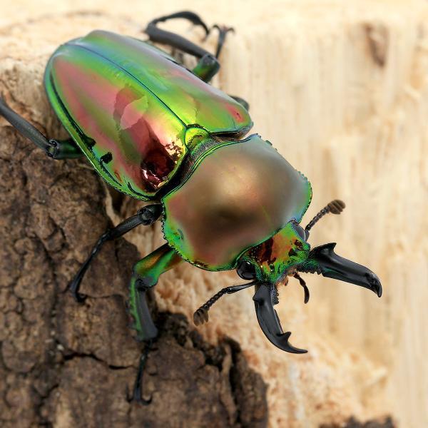 |(昆虫)ニジイロクワガタ クィーンズランド産 成虫 45〜49mm(1ペア)