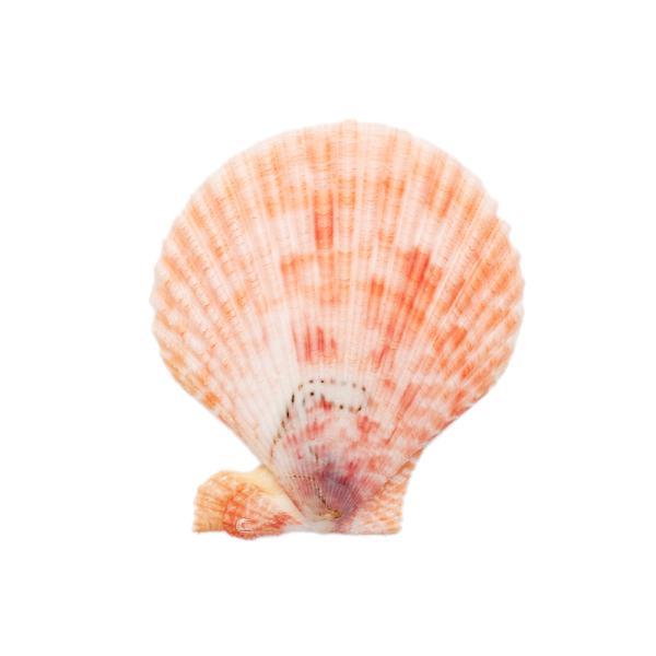 貝殻 シェルコレクション ヒオウギガイ おまかせカラー Mサイズ 片面タイプ 1個 形状おまかせ