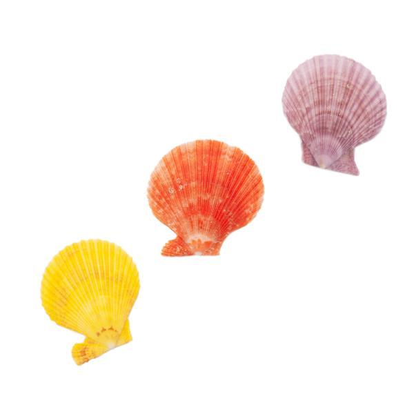 貝殻 シェルコレクション ヒオウギガイ おまかせカラー Mサイズ 片面タイプ 3個セット 形状おまかせ