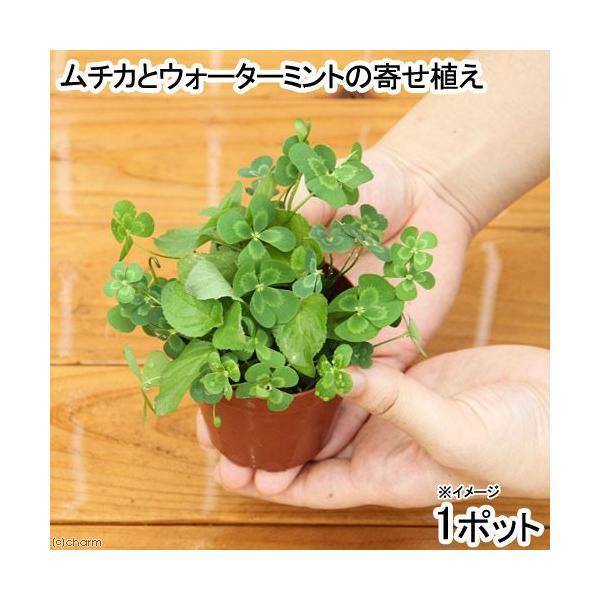 (ビオトープ)水辺植物 メダカの鉢にも入れられる水辺植物 ムチカとウォーターミントの寄せ植え(1ポット)(ミント挿したて)