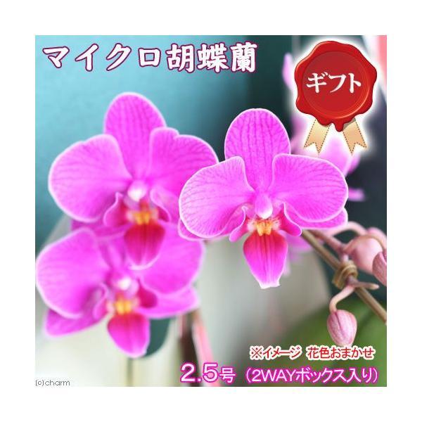 (観葉植物)鉢花ギフト マイクロ胡蝶蘭 2.5号 1本立ち(2WAYボックス入り) 花色おまかせ|chanet